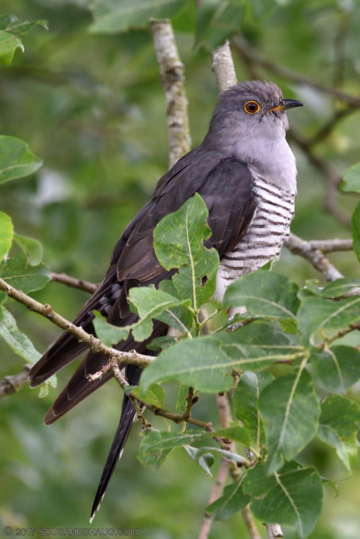 Common-cuckoo-00077